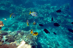 Underwater image of tropical fishes Stock Photo