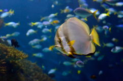 Underwater image of tropical fishes Royalty Free Stock Photography