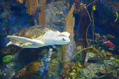 Underwater Image of Turtle Royalty Free Stock Photos