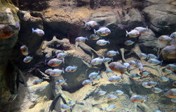 Underwater inhabitants. Photo through the glass flocks of small fish stock image