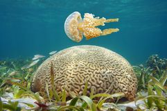 Underwater jellyfish and brain coral Caribbean sea. Underwater spotted jellyfish and brain coral in the Caribbean sea royalty free stock images