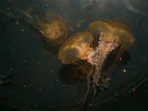 Underwater Jellyfish Couple Royalty Free Stock Photos