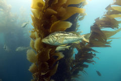 Underwater kelp forest,catalina island,california stock image