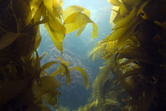 Underwater kelp forest,catalina island,california royalty free stock photography