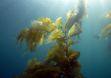 Underwater kelp forest,catalina island,california Royalty Free Stock Photos