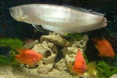 Underwater kingdom. Home aquarium goldfish Arawana Royalty Free Stock Images
