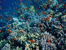 Underwater landscape. With Scalefin Anthias and coral. Red Sea royalty free stock photo