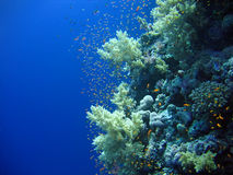 Underwater landscape. With many small fish. The Red sea royalty free stock images