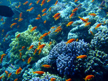 Underwater landscape. With Scalefin Anthias. Red Sea stock photos