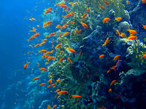 Underwater landscape. With Scalefin Anthias and coral. Red Sea stock photo