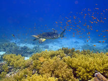 Underwater landscape. With turtle and many small fish. The Red Sea royalty free stock images