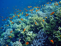 Underwater landscape. With school Scalefin Anthias and coral. Red Sea royalty free stock images