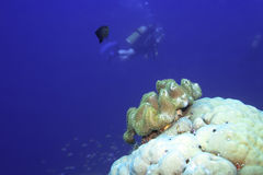 Underwater landscape. With fish, coral and divers. Maldives. Indian ocean. Addu atoll royalty free stock photos