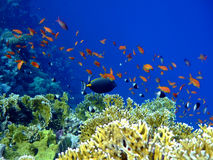 Underwater landscape. With Scalefin Anthias and Surgeonfish. Red Sea stock photos