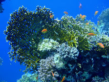 Underwater landscape. With Scalefin Anthias and coral. Red Sea royalty free stock photos