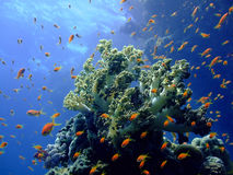 Underwater landscape. With Scalefin Anthias and coral. Red Sea royalty free stock images