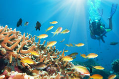Underwater landscape. With small fishes and diver. Borneo Royalty Free Stock Photos