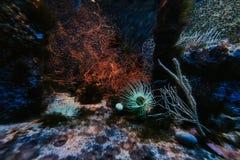 Underwater landscape in aquarium with sea anemones, Monaco Oceanographic Museum stock image