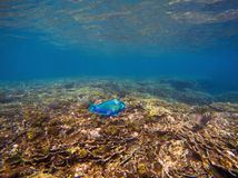 Underwater landscape with blue parrotfish. Tropical seashore undersea photo. Coral ecosystem with sea animal and plant. Exotic island sea snorkeling scene Royalty Free Stock Photos