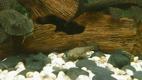 Underwater landscape closeup, planted fish tank with bottom fishes.  stock video