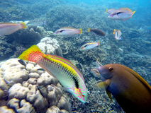 Underwater landscape with colorful fishes wrasse. Aquarium in wild nature. Royalty Free Stock Image
