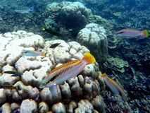 Underwater landscape with colorful fishes wrasse. Aquarium in wild nature. Royalty Free Stock Images