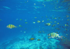 Underwater landscape with coral fishes Dascillus Royalty Free Stock Photography