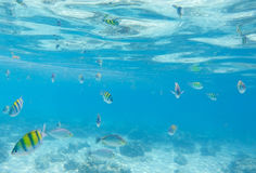 Underwater landscape with coral fishes. School of dascillus fish. Yellow and black striped coral fish. Royalty Free Stock Photos