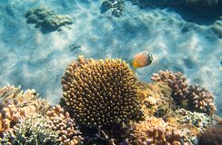 Underwater landscape with coral reef and butterfly fish. Butterflyfish undersea photo.