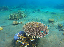 Underwater landscape with coral reef. Diverse coral shapes. Stock Image