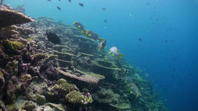 Underwater landscape of coral reef. Maldives. Underwater landscape of coral reef. Amazing, beautiful underwater marine life world of sea creatures in Maldives stock video footage