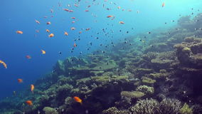 Underwater landscape of coral reef. Red Sea. Underwater landscape of coral reef. Amazing, beautiful underwater marine life world of sea creatures in Red Sea stock video footage