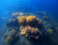 Underwater landscape with coral reef. Round coral with fishes and seaweed. Royalty Free Stock Photography