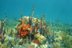 Underwater landscape on a coral reef with sponges Royalty Free Stock Photo