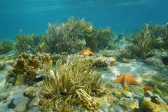Underwater landscape in a coral reef with starfish Royalty Free Stock Image