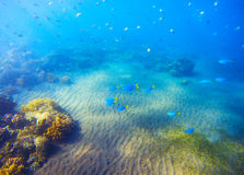 Underwater landscape with coral reef under sunlight. Young coral formation with fishes. Stock Images