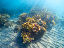Underwater landscape with coral reef under sunlight. Young coral formation with seaweed. Stock Photos