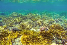 Underwater landscape with coral reef. Coral undersea photo. Seashore texture. Yellow sea plants. Sea bottom with coral ecosystem. Tropical seashore snorkeling Stock Image