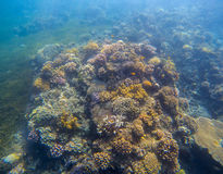 Underwater landscape with coral reef. Yellow coral with seaweed. Royalty Free Stock Photography