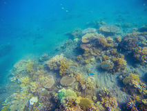 Underwater landscape with coral reef. Young coral formation with seaweed. Stock Image
