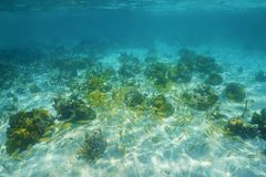 Underwater landscape with corals and shoal of fish Royalty Free Stock Photo