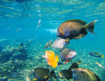Underwater landscape with diverse coral fishes. Stock Image