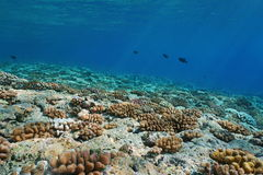 Underwater landscape fore-reef slope Pacific ocean. Underwater landscape on the ocean floor, corals on the upper fore-reef slope of Huahine island, Pacific ocean Royalty Free Stock Image