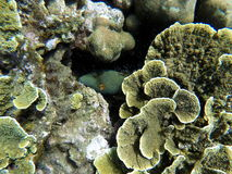 Underwater landscape with green and yellow corals and striped fish hiding. Seaside life scenery. Mimicry in nature. Oceanic ecosystem. Coral reef with animal royalty free stock photo
