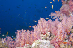 Underwater landscape of red sea Royalty Free Stock Photo