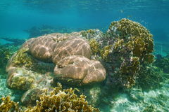 Underwater landscape in a reef of Caribbean sea. Underwater landscape in a reef with massive starlet and bladed fire corals, Caribbean sea Stock Photos