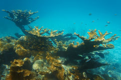 Underwater landscape in a reef with elkhorn coral. Underwater landscape in a reef with colonies of elkhorn coral and a shoal of Glassy sweeper fish, Caribbean stock image