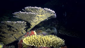 Underwater landscape sea of coral reef at night. Amazing, beautiful underwater marine life world of sea creatures in Maldives. Scuba diving and tourism stock footage