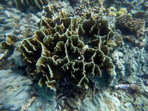 Underwater landscape with sophisticated hard corals. Small aquarium fishes. Royalty Free Stock Photography