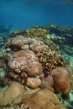 Underwater landscape of stony Caribbean coral reef Royalty Free Stock Photography
